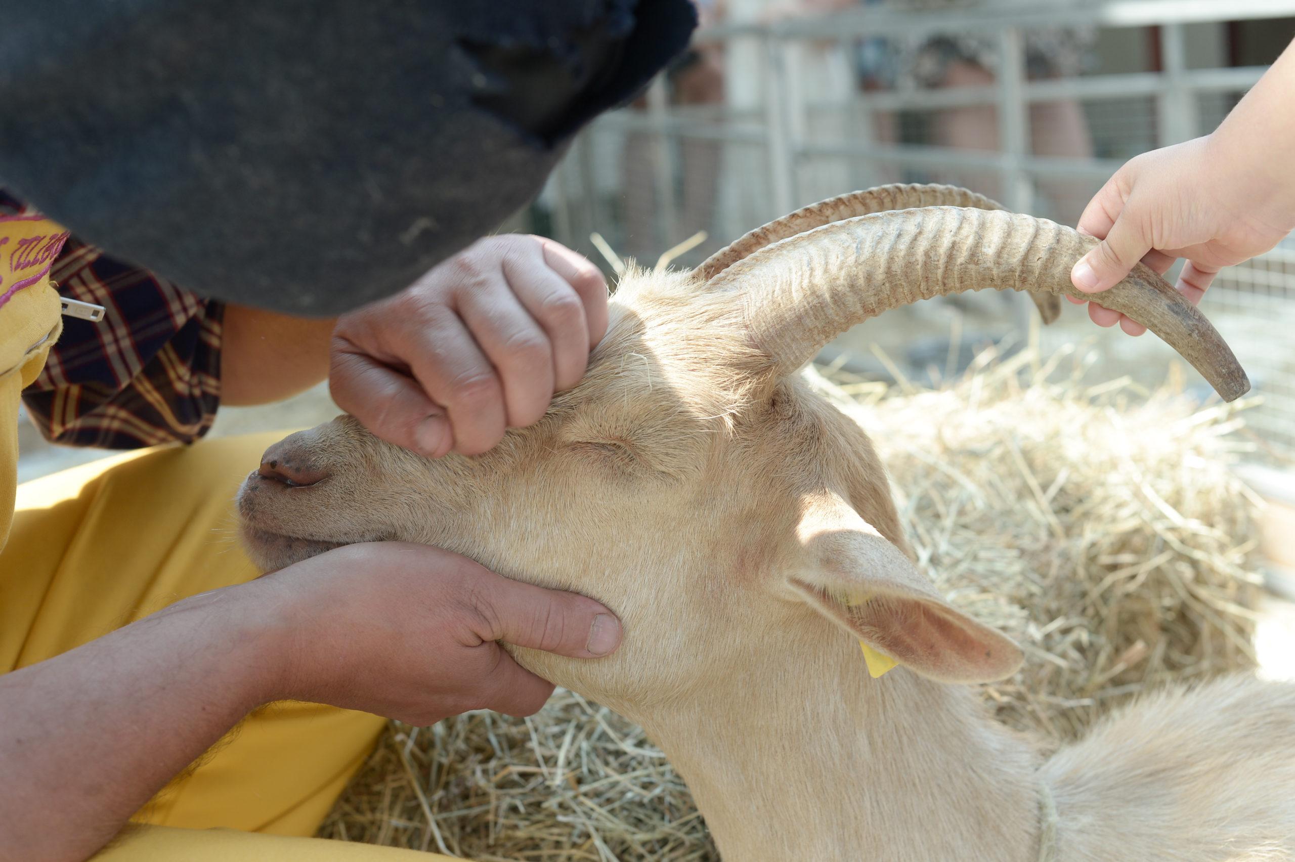 chèvre, ferme animaux corne enfants animation
